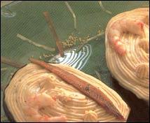 Berenjenas rellenas de anchoas y gambas